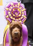 westminster_dog_show_11_wen