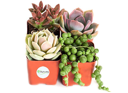 amazon_succulents