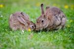 2-rabbits-eating-grass-at-daytime-33152