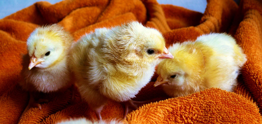 cute-animals-easter-chicken-5143