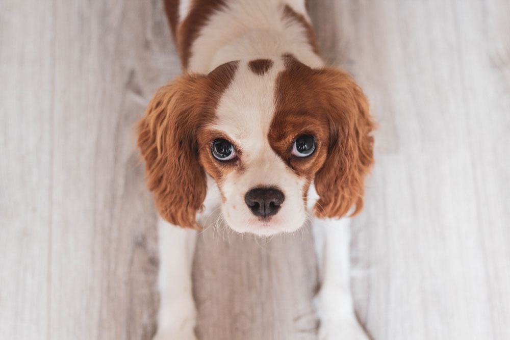 white-and-red-cavalier-king-charles-spaniel-puppy-close-up-1407718